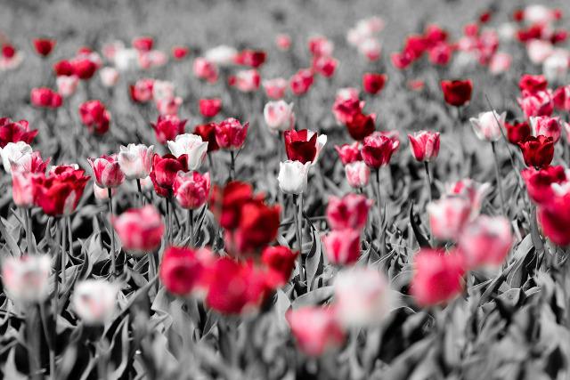 Coltivazione tulipani piantare i bulbi in inverno e for Cosa piantare a dicembre